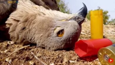 """صورة بالفيديو – مجزرة بشعة بحق طائر  """"حوام العسل"""" في لبنان"""