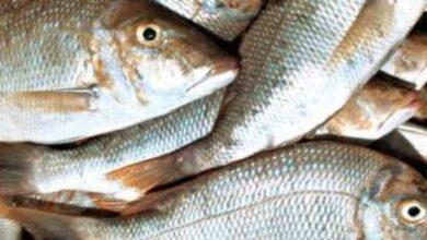 صورة بالفيديو – سمكة واحدة بلغ خلال مزاد علني 215 الف ليرة