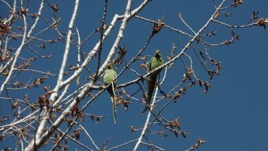 صورة بلدية جديدة مرجعيون ناشدت عدم اصطياد طيور الببغاء