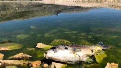 صورة وباءٌ خطير يقضي على أسماك الكارب في الليطاني